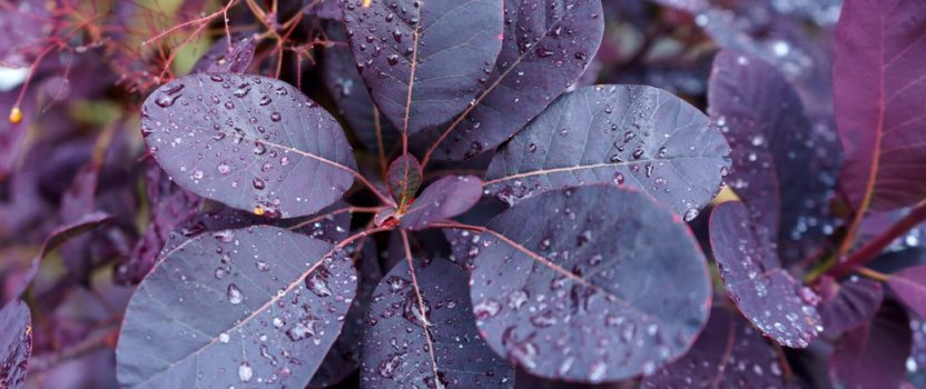 Dark Foliage in the Garden – Use it Effectively