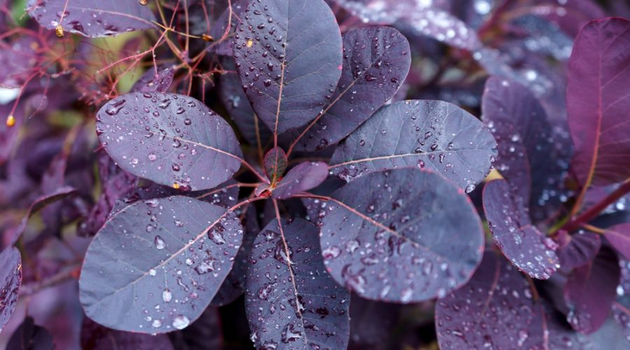 Dark Foliage in the Garden – Use it Effectively