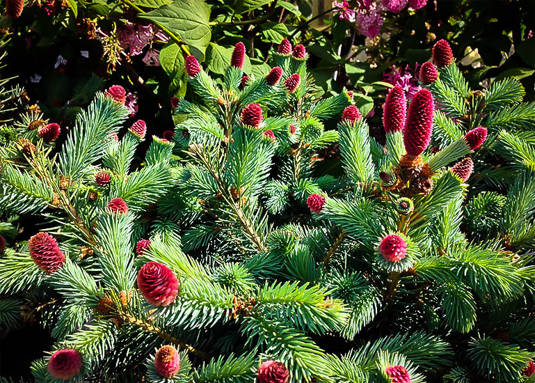 Ruby Teardrops Colorado Spruce For Sale The Tree Center