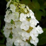 White Ruby Slippers Hydrangea