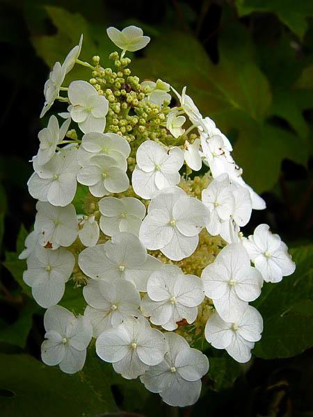 White Ruby Slippers Hydrangea