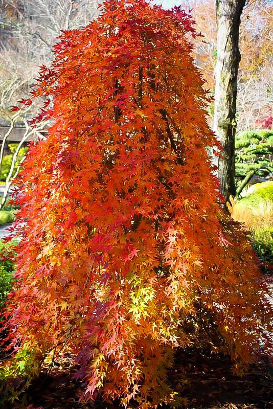 Ryusen Japanese Maple In The Fall