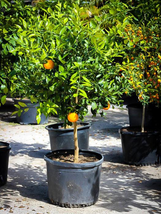 Okitsu Satsuma Mandarin Tree