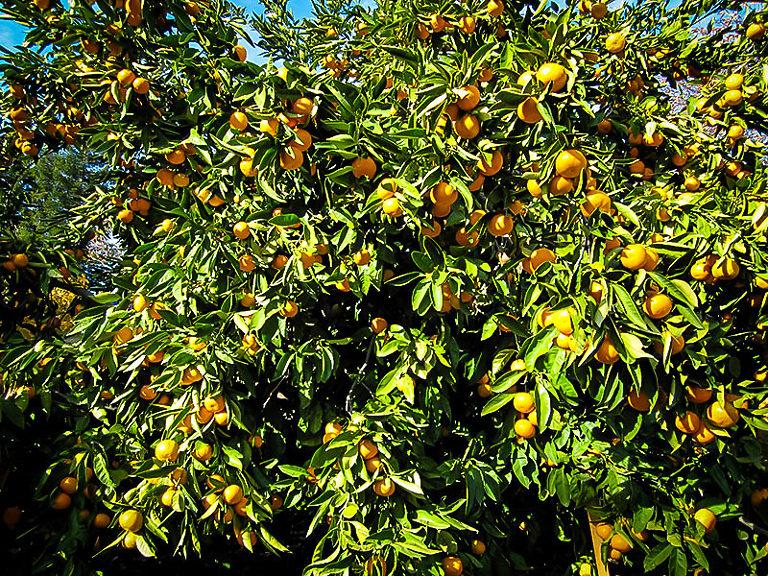 Okitsu Satsuma Tree