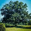 Mature Sawtooth Oak Tree