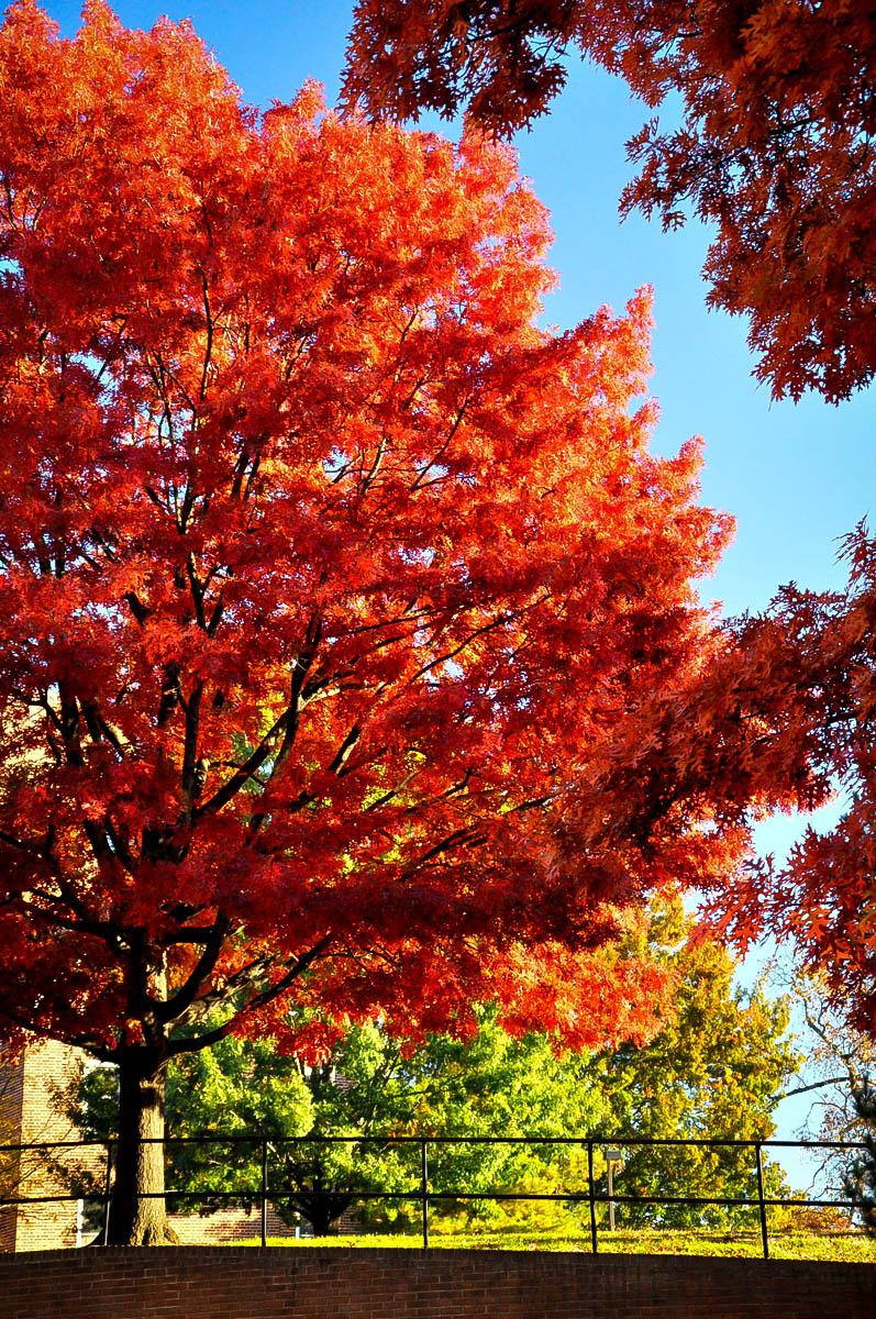 Scarlet Oak Tree For Sale Online The Tree Center