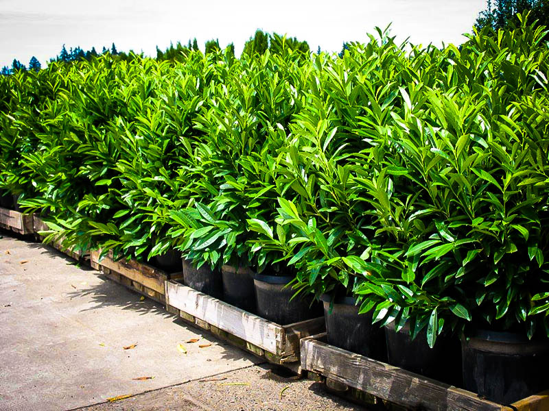 Skip Laurel Shrubs Buy Skip Laurels Online The Tree Center