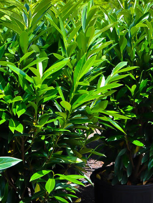 Skip Cherry Laurel