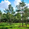 Younger Scots Pine Trees