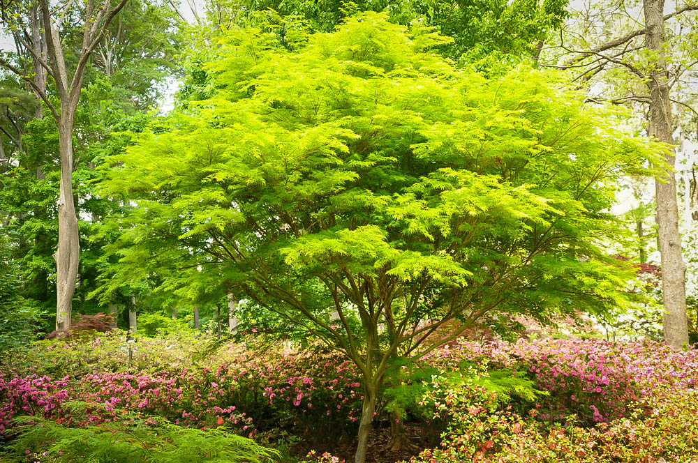 Seiryu Japanese Maple Trees For Sale The Tree Center