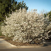 Serviceberry Bush