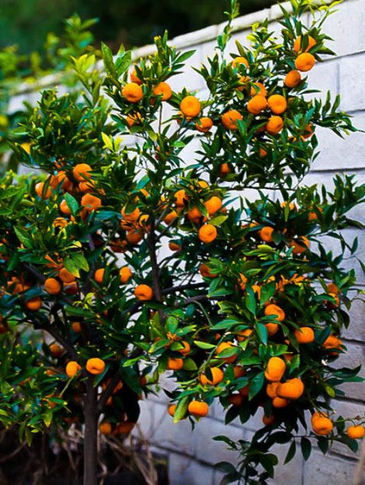 Seto Satsuma Orange Tree
