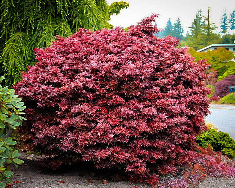 Shaina Japanese Maple Trees For Sale The Tree Center