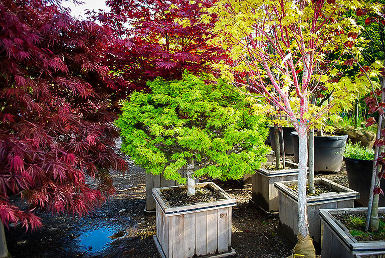 Young Sharp's Pygmy Japanese Maple