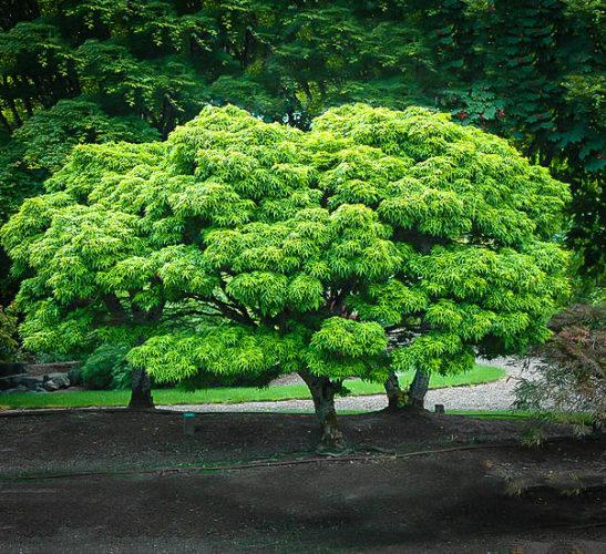 Sharp's Pygmy Japanese Maple