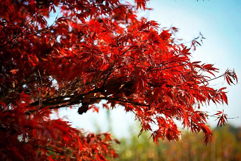 Sherwood Flame Japanese Maple Leaves