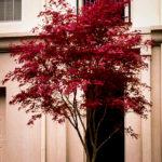 Sherwood Flame japanese Maple Tree