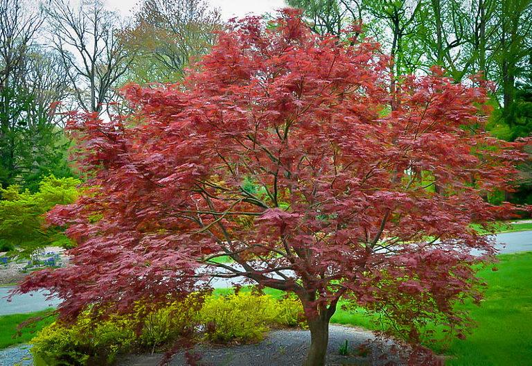Sherwood Flame Japanese Maple