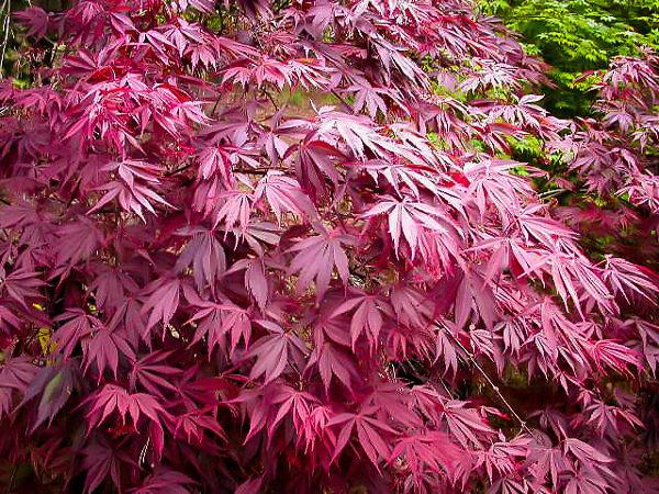 Sherwood Flame Japanese Maple Leaf