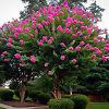 Sioux Crape Myrtle Tree
