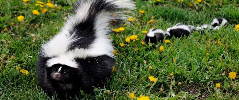 Skunk Repellent