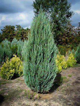 Skyrocket Juniper Tree