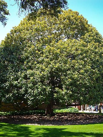 Magnolia Trees For Sale Buy Magnolia Trees Online The Tree Center