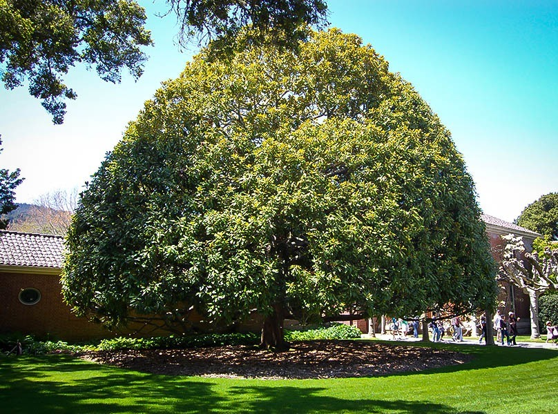 Southern Magnolia Tree The Tree Center