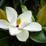 Southern Magnolia Tree Flower