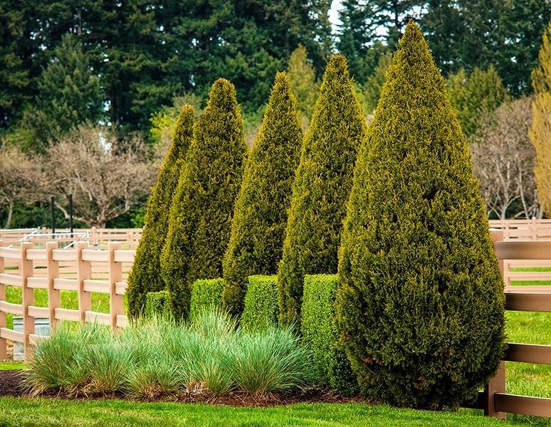 Buy Spartan Juniper Trees Online The Tree Center