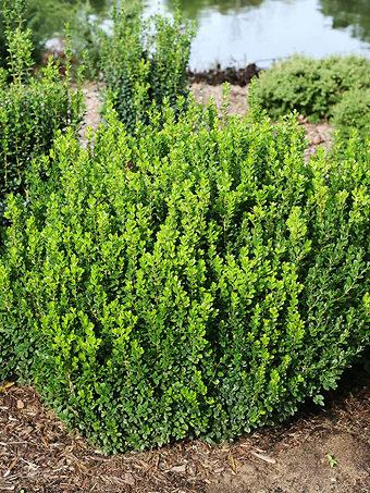 Buy Boxwood Shrubs Online Boxwood Shrubs For Sale The Tree Center