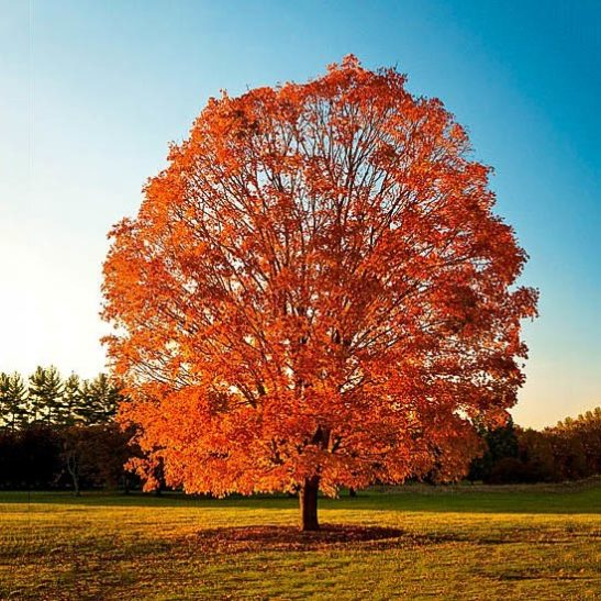 Sugar Maple in The Fall