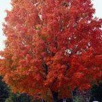 Sugar Maple Tree Acer Saccharum In Bloom