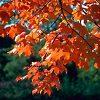 Sugar Maple Tree Leaves