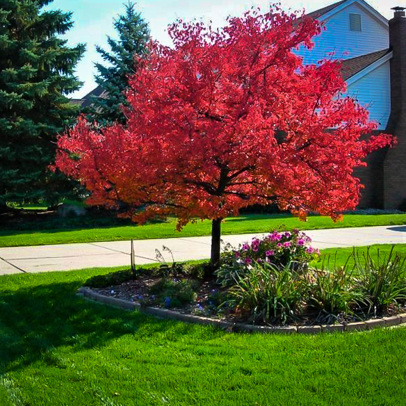 Summer Red Maple Trees For Sale The Tree Center