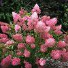 Sunday Fraise Hydrangea Plant
