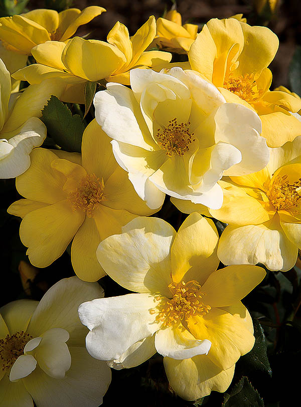 Sunny Knockout Roses For Sale Online The Tree Center