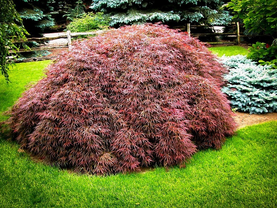 Tamukeyama Japanese Maple For Sale Online The Tree Center