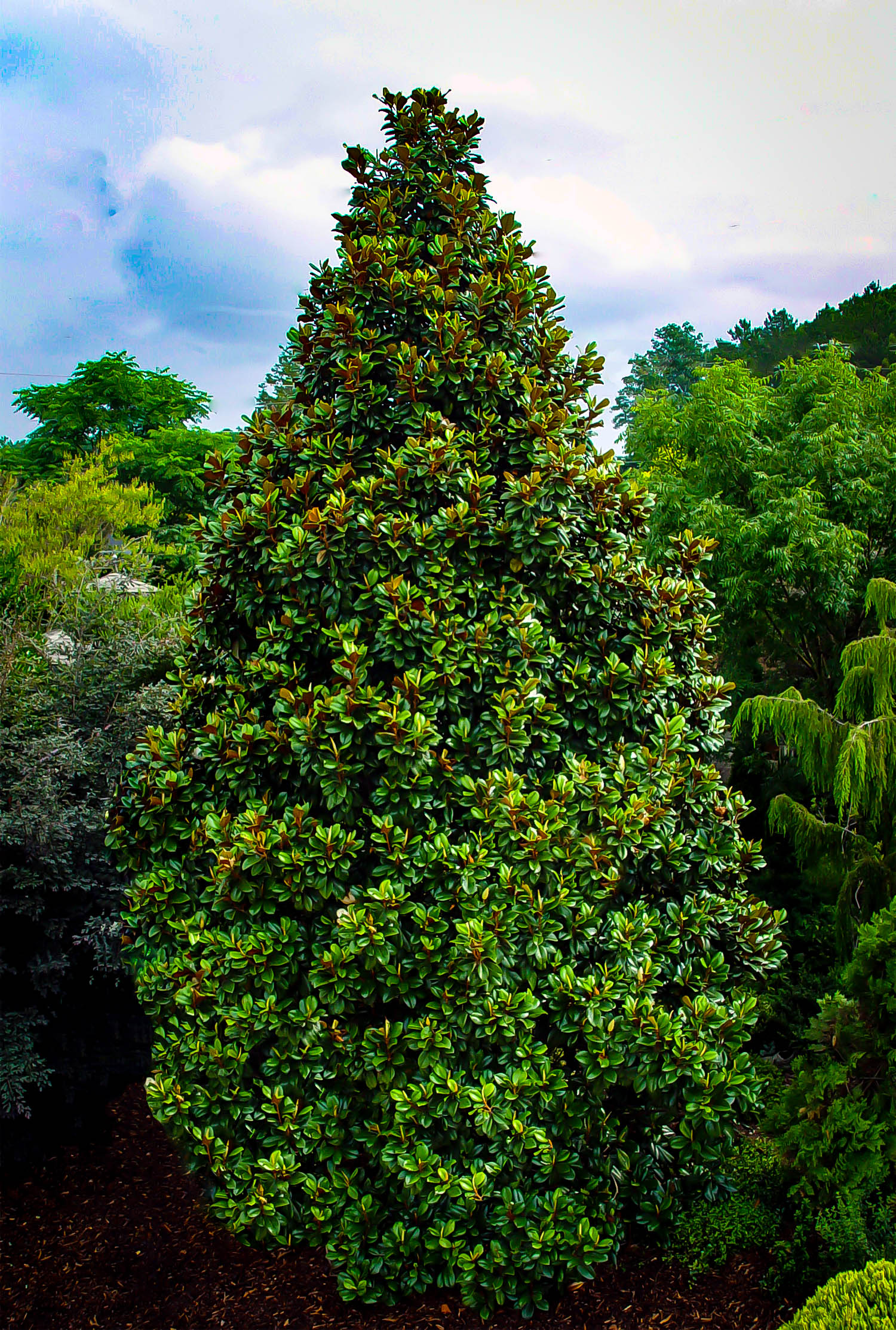 Teddy Bear Southern Magnolia Trees For Sale The Tree Center