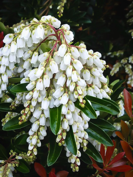 Temple Bells Pieris