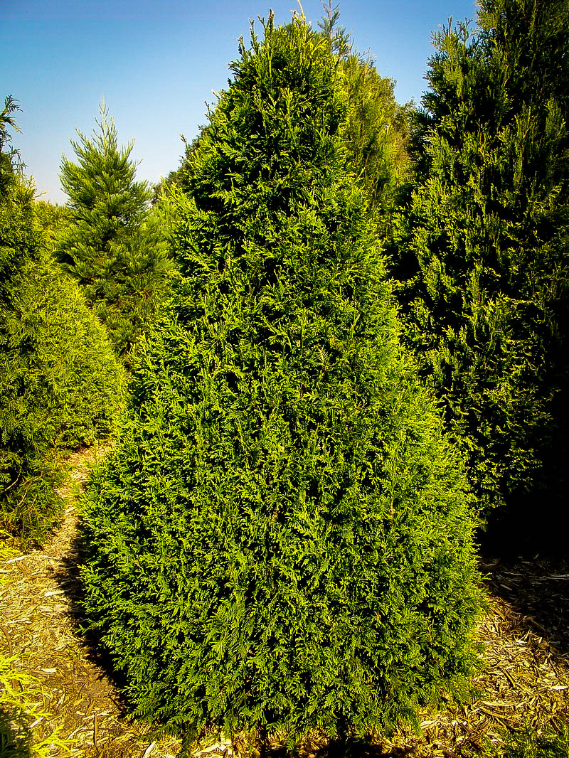 Thuja Can Can Trees For Sale Online The Tree Center