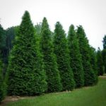 Thuja Green Giants