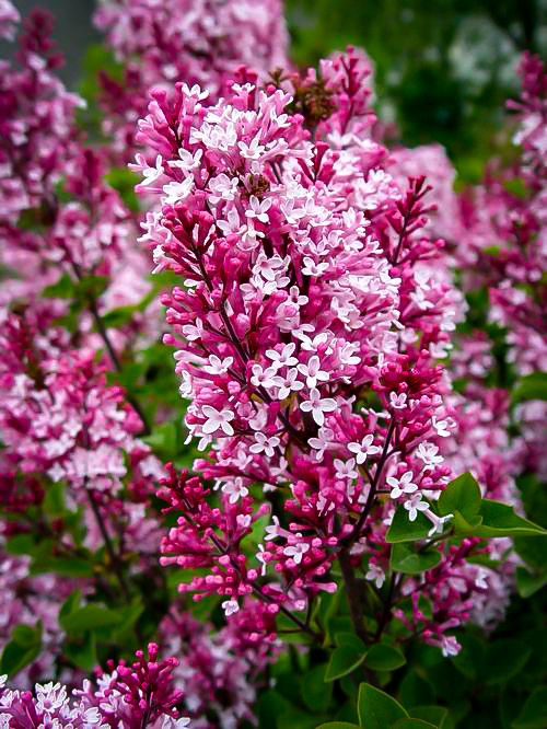 Tinkerbelle Lilac Bushes For Sale The Tree Center