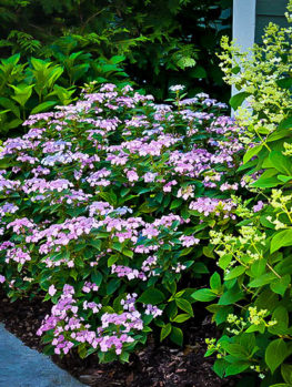 Tiny Tuff Stuff® Mountain Hydrangea