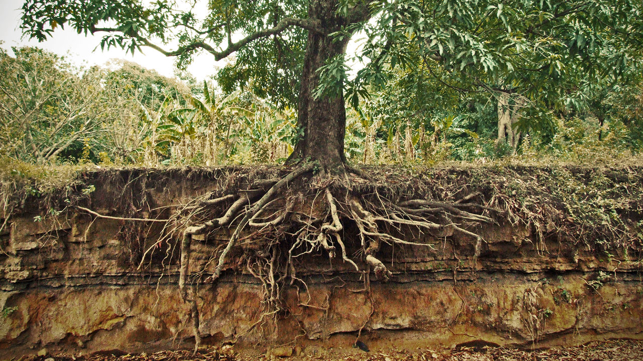 Tree Roots Common Problems With Root Systems The Tree