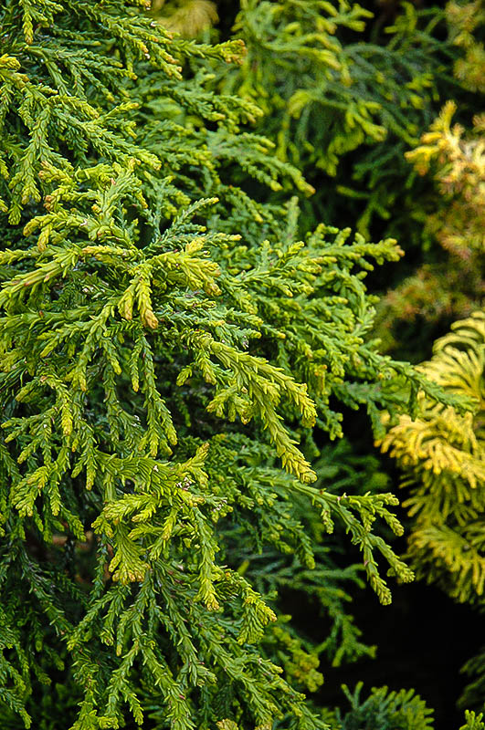 Twisted Hinoki Cypress Shrubs For Sale The Tree Center