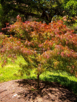 Villa Taranto Japanese Maple