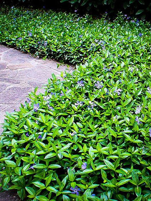 "Vinca Minor ""Bowles"" Periwinkle"