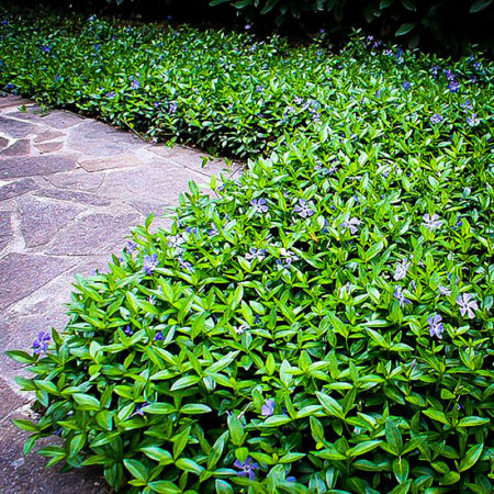 Groundcover Plants