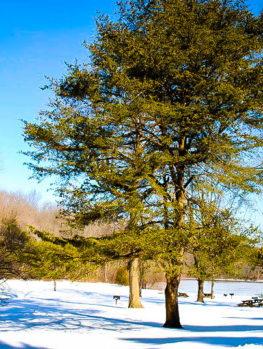Virginia Pine